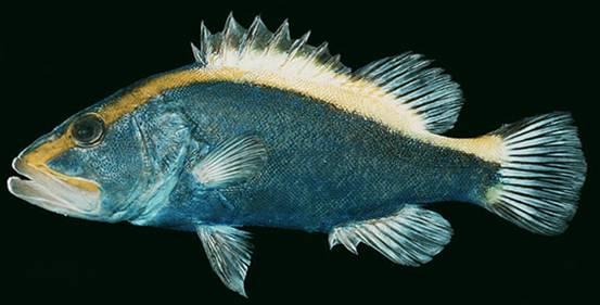 太平洋真圆鳍鱼成年