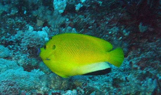 太平洋真圆鳍鱼幼鱼